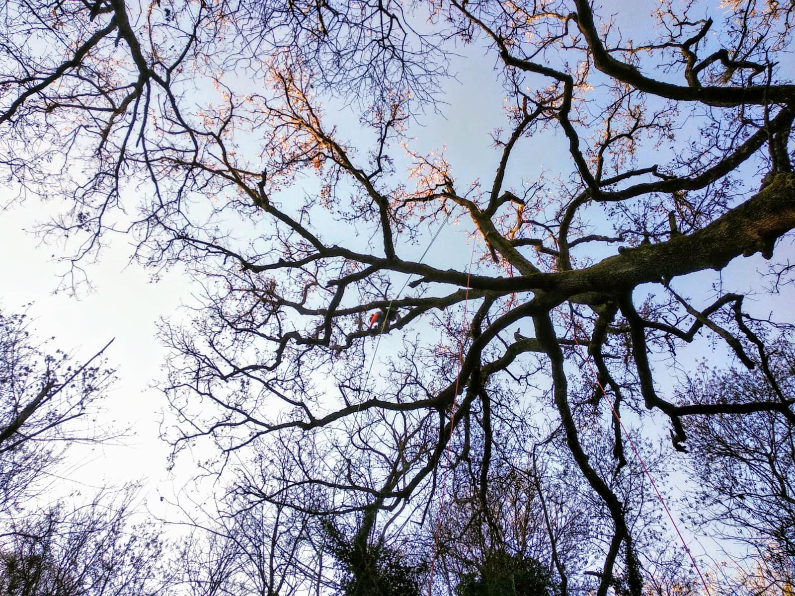 Periodo Migliore Per Potare Quercia potatura albero di quercia a firenze con tobias pelli