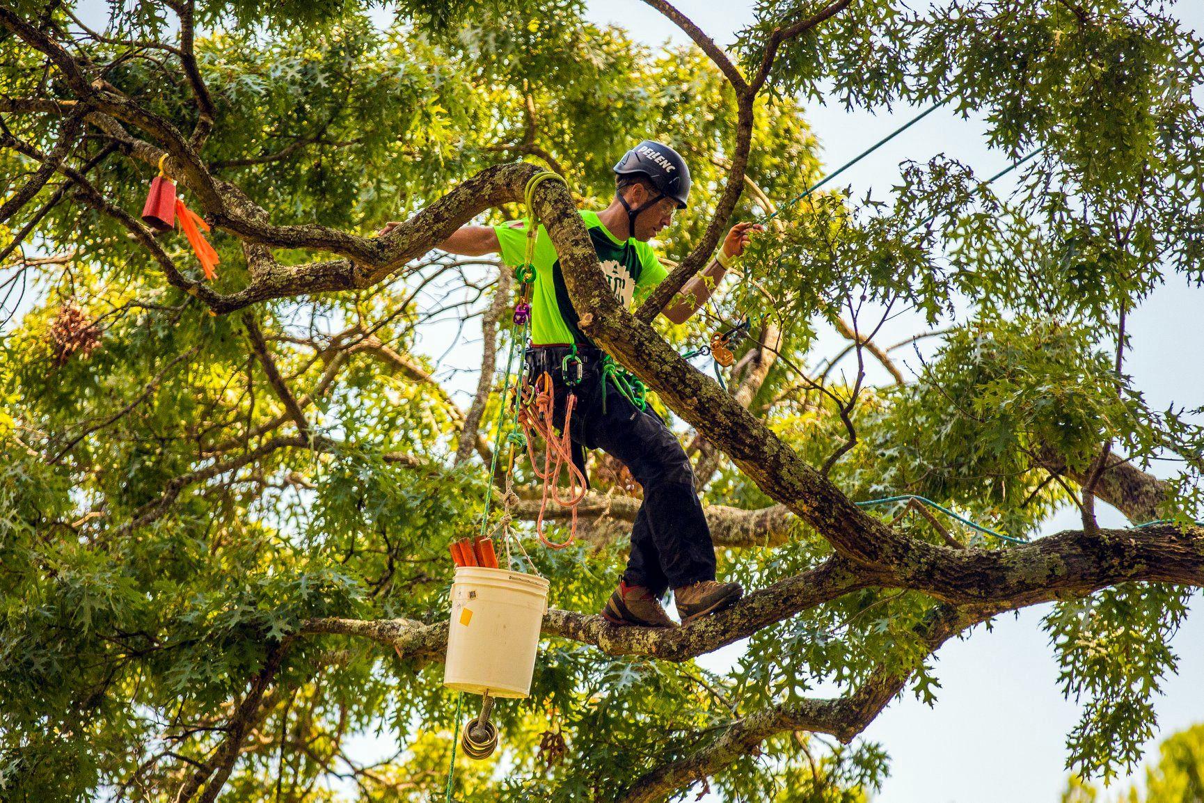 Alberi Ad Alto Fusto Quali Sono treeclimbing firenze: la tecnica migliore per potare e