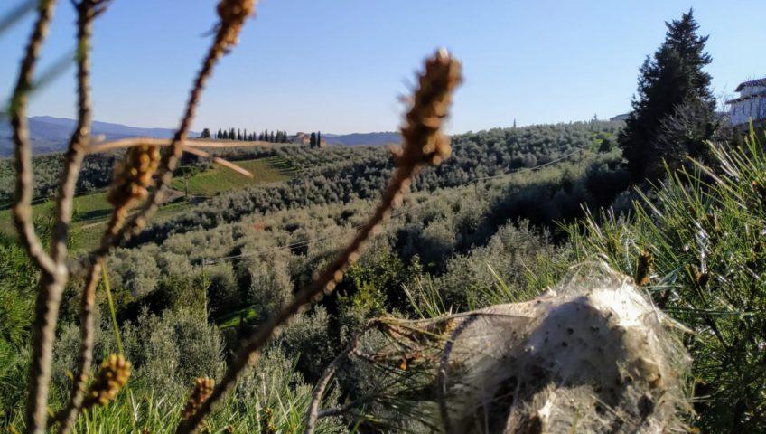 Rimozione nidi di processionaria Firenze