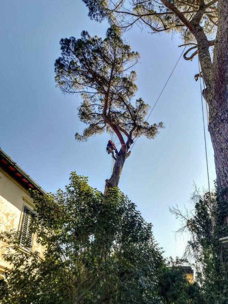 abbattimento controllato pino