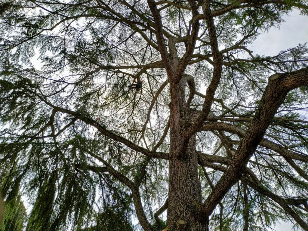 treeclimber in chioma